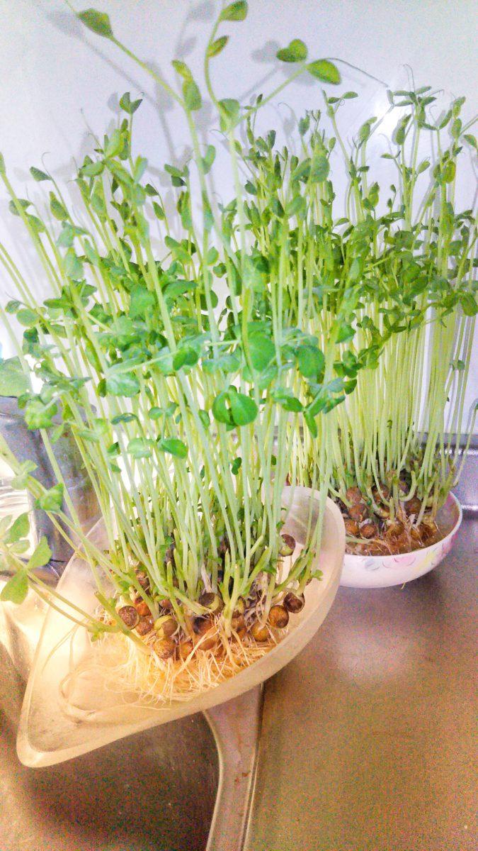 苗 ない 豆 育た 苗木が芽吹かない